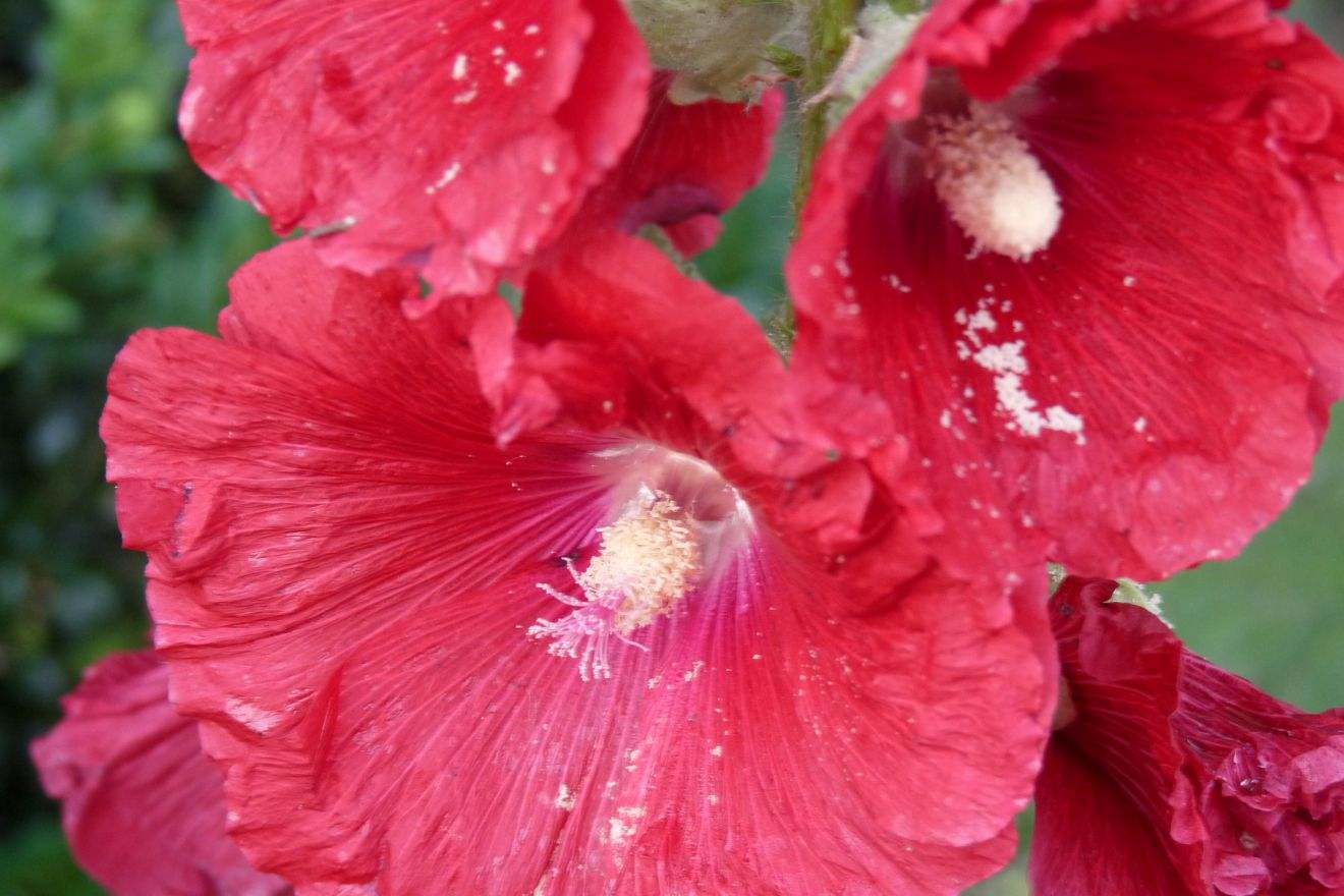 Alcea rosea 'Charters Double Rot' (stokroos rood)