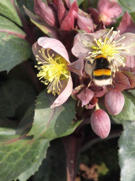 Helleborus x sternii (Nieskruid, kerstroos)