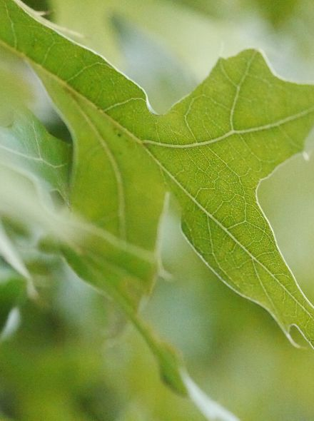 Leiboom Moeraseik - Quercus palustris leivorm