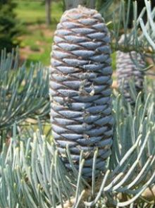 Abies concolor 'Glauca' (Colorado Zilverspar)