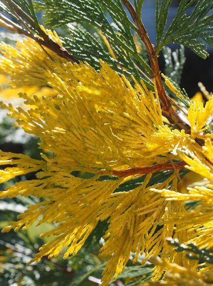 Calocedrus decurrens Aureovarigata (Witte ceder, wierookceder, zuil-cipres, bonte Libocedrus)