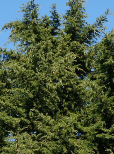 Cedrus deodara (Himalayaceder)