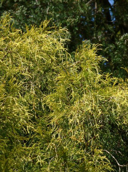 Chamaecyparis pisifera 'Filifera Aurea' (Draadcipres, Schijncipres)