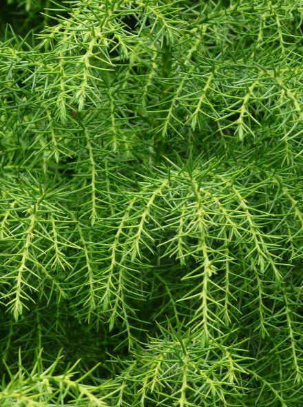 Cryptomeria japonica 'Elegans' (Japanse cipres, Japanse cedrus)