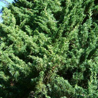 Juniperus chinensis 'Blaauw' (Chinese jeneverbes)
