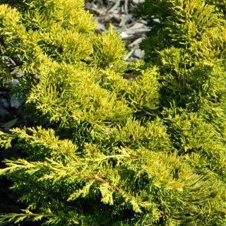 Juniperus chinensis 'Plumosa Aurea' (Chinese jeneverbes)