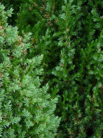 Juniperus chinensis 'Stricta' (Chinese jeneverbes)