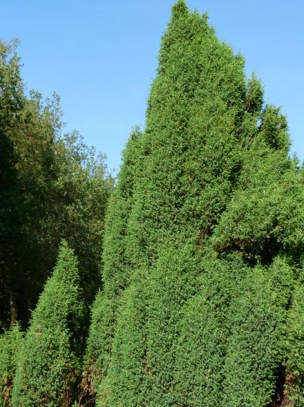 Juniperus communis 'Hibernica' (Jeneverbes)