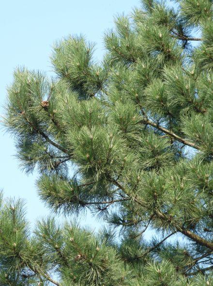 Pinus nigra subsp. nigra (Oostenrijkse den, Zwarte den, Pijnboom)