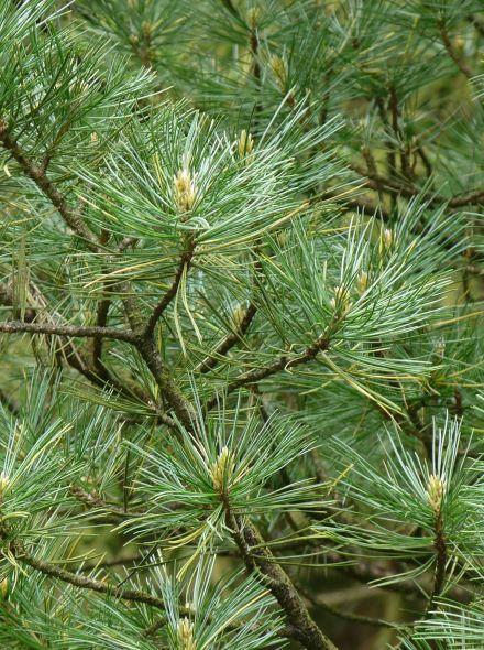 Pinus cembra (Alpenden, Arveden, Siberische Pijnboom)