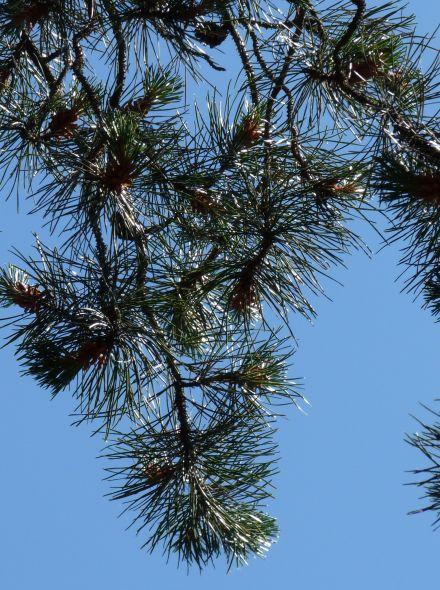 Pinus contorta var latifolia (Draaiden, Pijnboom)