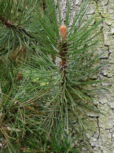 Pinus leucodermis (Bosnische den, Pijnboom)