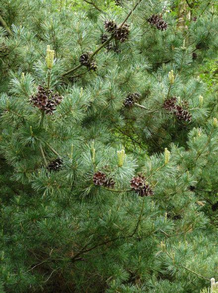 Pinus parviflora (Japanse witte den)