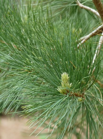 Pinus peuce (Macedonische den)
