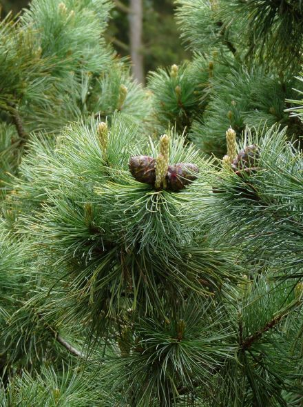Pinus pumila 'Glauca' (Siberische dwergden, Japanse steenden)