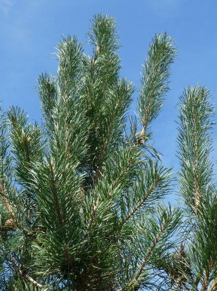 Pinus sylvestris (Grove den)