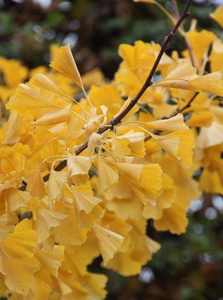Ginkgo biloba 'Tit' (Japanse notenboom)