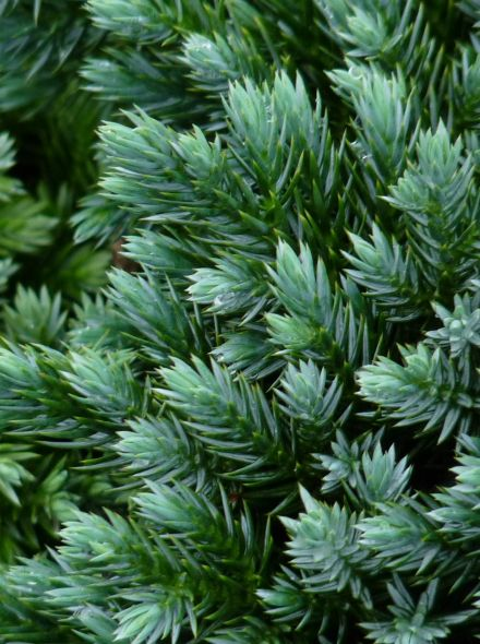 Juniperus squamata 'Blue Star' (Himalaya jeneverbes)