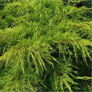 Juniperus media 'Pfitzeriana Aurea' (Jeneverbes)