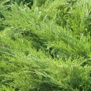 Juniperus media 'Mint Julep' (Jeneverbes)