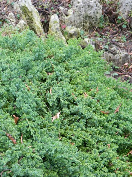 Juniperus procumbens 'Nana' (Kruipende jeneverbes)