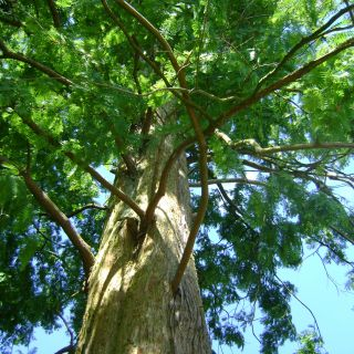 Metasequoia glyptostroboides (Chinese moerascipres, watercipres, Chinese sequoia)