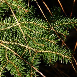 Picea abies 'Nidiformis' (Fijnspar)