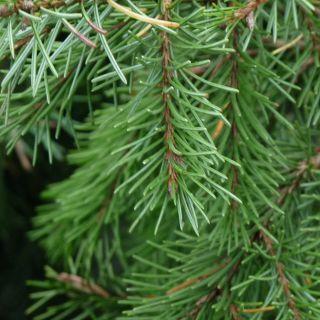 Picea breweriana (Brewers treurspar)