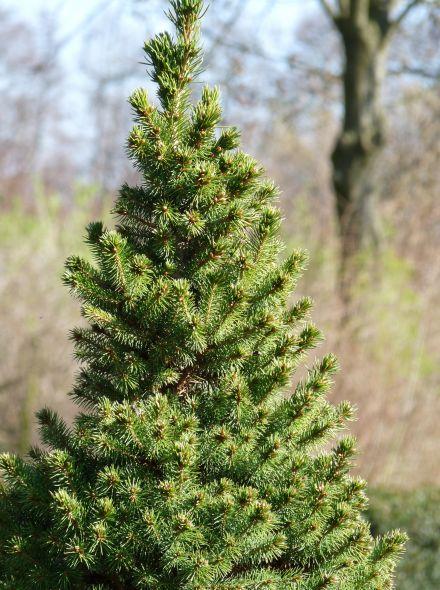 Picea glauca 'Conica' (Dwergspar, Witte spar, Tafelkerstboom)