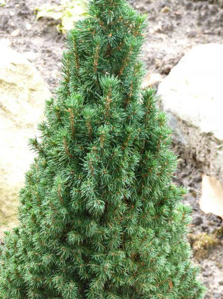 Picea glauca 'Zuckerhut' (Dwergspar, Witte spar)