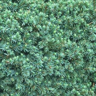 Picea glauca 'Echiniformis' (Dwergspar, Witte spar)