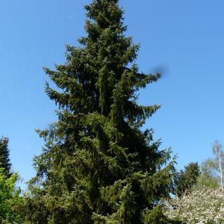 Picea omorika (Servische spar, Omorika den)