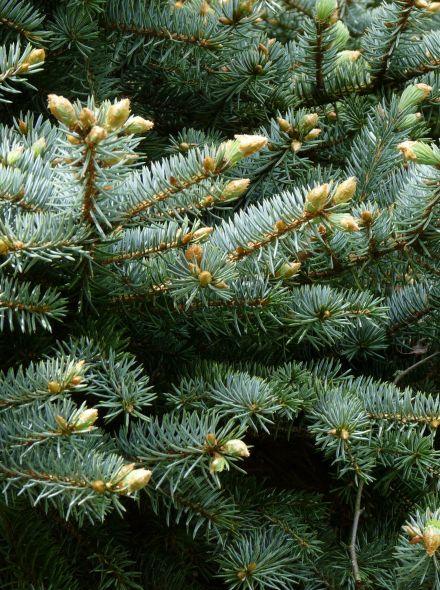 Picea pungens 'Glauca' (Blauwe Colorado spar, Blauwspar)