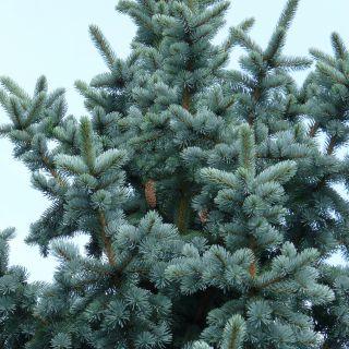 Picea pungens 'Koster' (Blauwe Colorado spar, Blauwspar)