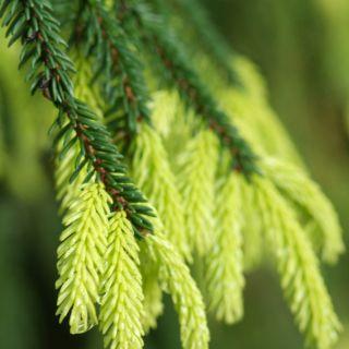 Picea orientalis 'Aureospicata' (Kaukasische spar, Oosterse spar)