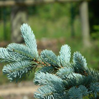 Picea pungens 'Hoopsii' (Blauwe Colorado spar, Blauwspar)