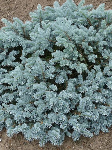 Picea pungens 'Glauca Globosa' (Blauwe Colorado spar, Blauwspar)