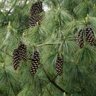 Pinus strobus (Weymouthden)