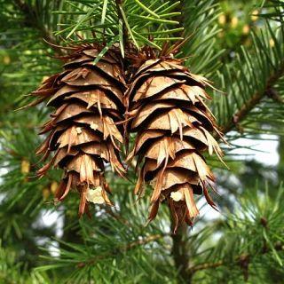 Pseudotsuga menziesii (Douglasspar, Pseudotsuga taxifolia)