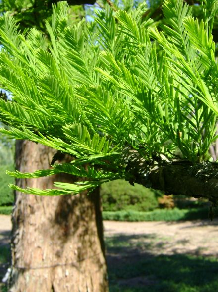Taxodium distichum (Moerascipres)