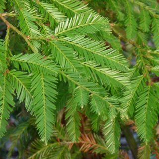 Sequoia sempervirens (Kustmammoetboom)