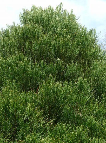 Sequoiadendron giganteum 'Pygmaeum' (Mammoetboom)
