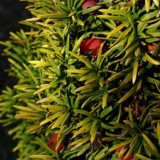 Taxus baccata 'David' (Gele venijnboom)