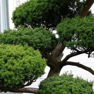 Taxus cuspidata (Japanse wierook taxus)