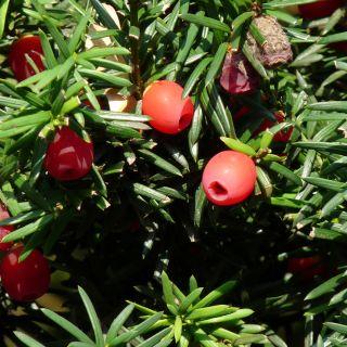 Taxus media 'Hicksii' (Venijnboom)