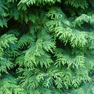 Thuja occidentalis (Westerse levensboom)