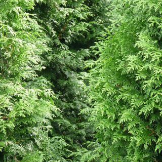 Thuja occidentalis 'Brabant' (Westerse levensboom, Groene haagconifeer)