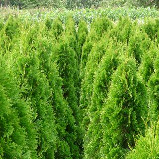 Thuja occidentalis 'Smaragd' (Westerse levensboom, Groene haagconifeer)
