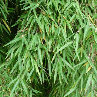 Fargesia murieliae 'Dino' (fijnbladige bamboe, niet woekerende bamboe)