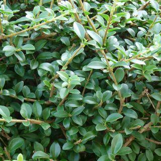 Ligustrum delavayanum (Bolliguster)